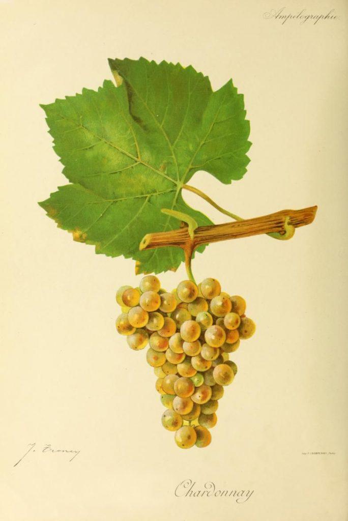 cepage Chardonnay