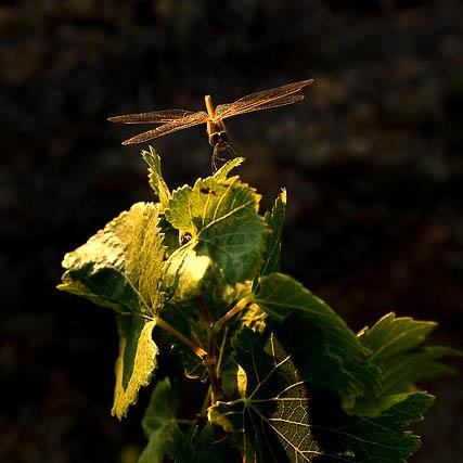 Libellule sur une feuilles de vigne