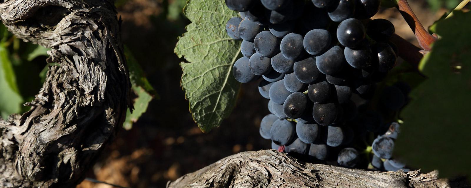 raisins noir 01