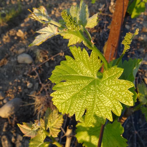 vigne 2